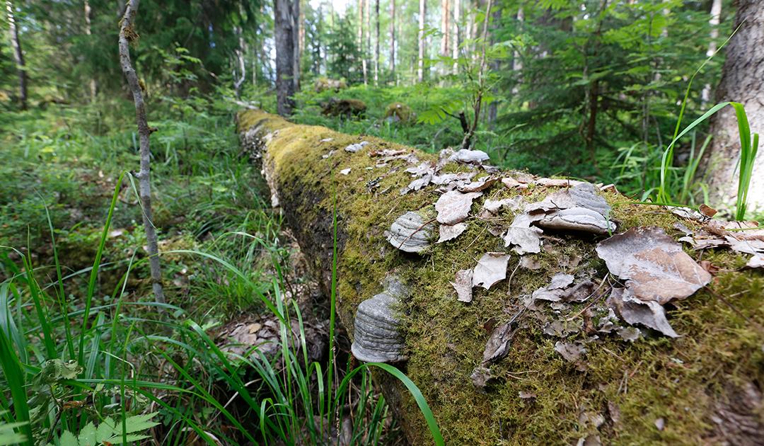 Sahateollisuuden yhteishanke vahvistaa metsäluonnon monimuotoisuutta